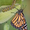 Monarch Butterfly's?