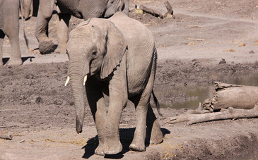 41 African Elephants Poisoned by Poachers at Watering Hole | Wildlife Trafficking: Who Does it? Allows it? | Scoop.it