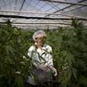 Down the marijuana trail