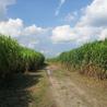 Biomasa y cultivos energéticos en América Latina