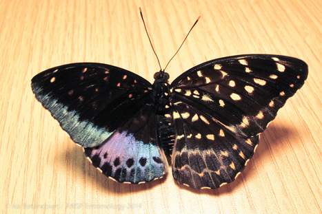 Gynandromorphism: Half male, half female butterfly emerges | Amazing Science | Scoop.it
