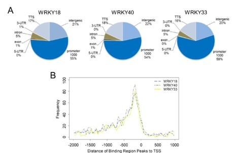 Induced Genome-Wide Binding of Three Arabidopsis WRKY Transcription Factors during Early MAMP-Triggered Immunity | Plant-microbe interaction | Scoop.it