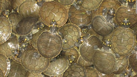 500,000 baby turtles to be released into the wild | Rainforest EXPLORER:  News & Notes | Scoop.it