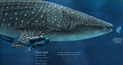 Sizing Up Sharks, the Lords of the Sea | Interactive & Immersive Journalism | Scoop.it