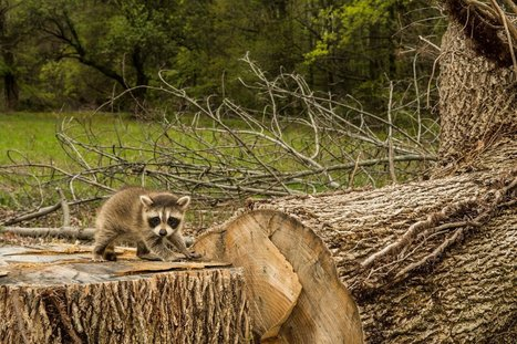Baby Raccoon Standing on the Remains of His Home Will Make You Want to Act for the Planet | Animals R Us | Scoop.it