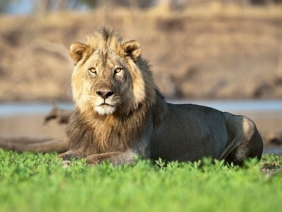 Support Listing the African Lion Under the Endangered Species Act | Trophy Hunting: It's Impact on Wildlife and People | Scoop.it