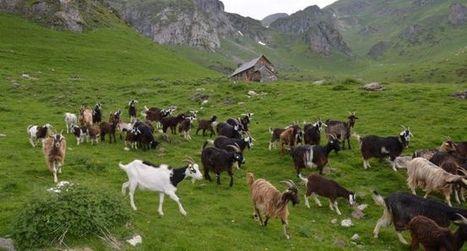 Aulon : Agrifaune, un programme ambitieux | Vallée d'Aure - Pyrénées | Scoop.it