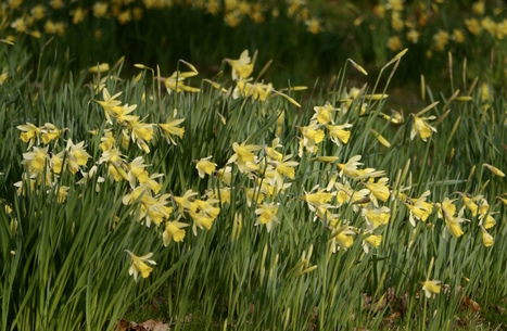 Daffodil Extract from Herbaceous by Paul Evans | Nature Flash | Scoop.it
