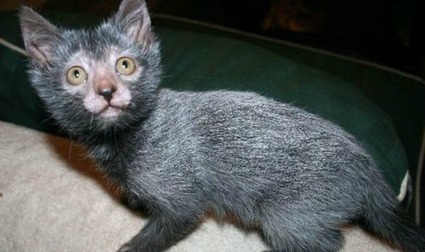 Love: 12 Reasons You Need To Start Loving A Lykoi, Stat | YourTango | Feline Health and News - manhattancats.com | Scoop.it