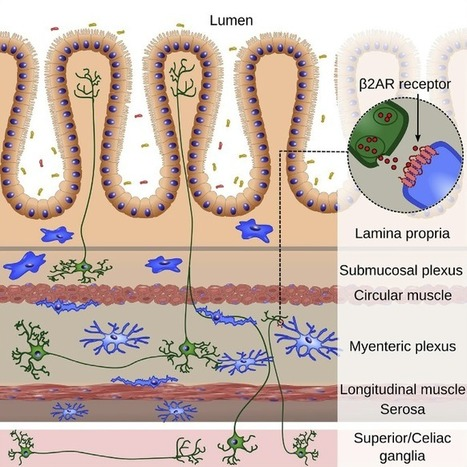 Study finds neurons in gut regulate the immune system to control inflammation. | Neuro-Immune Regulatory Pathways | Scoop.it