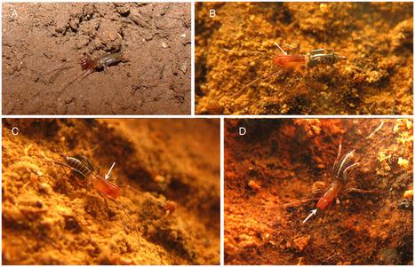 Rowlandius ubajara et R. potiguar, deux espèces nouvelles d'arachnides brésiliens | EntomoNews | Scoop.it