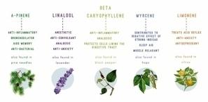 Terpenos y cannabis (1ª parte). - THC Terapeutico   thc barcelona   Scoop.it