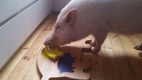 YouTube: ¿Puede un cerdo viejo aprender nuevos trucos? - El Comercio | All  in Learning ;Todo en Formación | Scoop.it
