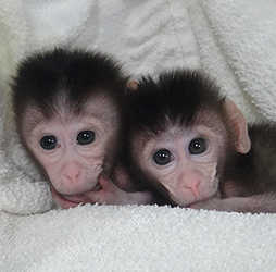 Gene Surgery Creates First Monkeys Modified with Precision Genome Editing | MIT Technology Review | The future of medicine and health | Scoop.it