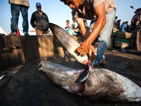 Illegal shark fins discovered at exclusive London Chinese restaurant | Blue Planet | Scoop.it