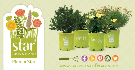 If you can dig a hole, you can plant a star | All Things Rose | Scoop.it