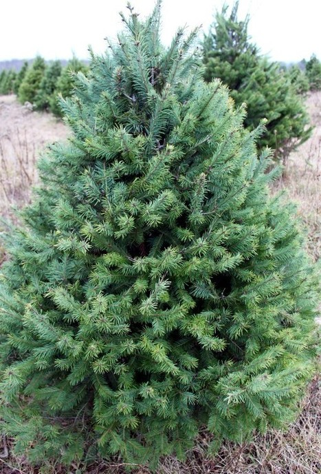 Gardening with Soule | Choosing and caring for your LIVE Christmas Tree | Annie Haven | Haven Brand | Scoop.it