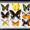 LEPIDOPTEROPHILE - LEPIDOPTEROLOGY - Butterflies