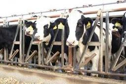 Managing Mastitis in Dairy Replacement Heifers | AgWeb.com | CALS in the News | Scoop.it