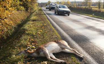 Roadkill For Dinner? Montana Wants To Make It Legal | Nature Animals humankind | Scoop.it