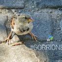 Los gorriones están desapareciendo en España | Nuevas Geografías | Scoop.it