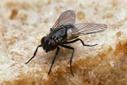 Les mouches aussi bravent le froid - Tribune de Genève | EntomoNews | Scoop.it