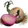 Cebolla (Allium cepa)