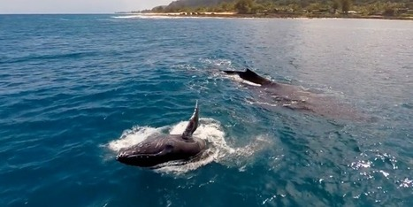 This Drone Video Of #Whales Swimming Is Mesmerizing * | Rescue our Ocean's & it's species from Man's Pollution! | Scoop.it