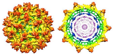 Virus Zika : il a les clés pour entrer dans le cerveau | + de sciences | Scoop.it