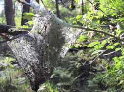 Caterpillars pitch tents in sci-fi-like numbers | Arizona Daily Star | CALS in the News | Scoop.it