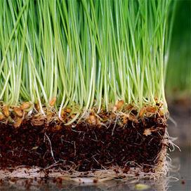 The Wheatgrass Grower: HYDROPONICS VS. SOIL | How to Grow ... | Aquaponics~Aquaculture~Fish~Food | Scoop.it
