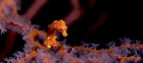 Save Our Species - News Stories | Seahorse Project | Scoop.it