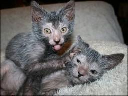 Lykoi cat that looks like a werewolf | Cats Rule the World | Scoop.it