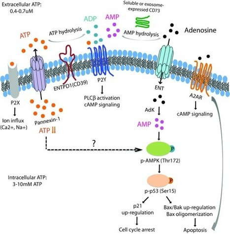 The life cycle of a T cell after vaccination – where does immune ageing strike? | Immunology and Biotherapies | Scoop.it