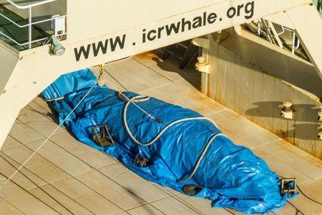 Chasse à la baleine : un baleinier japonais pris sur le fait en Antarctique | Biodiversité | Scoop.it