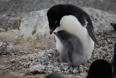 Penguins Cope With Climate Change - Science News | This Gives Me Hope | Scoop.it