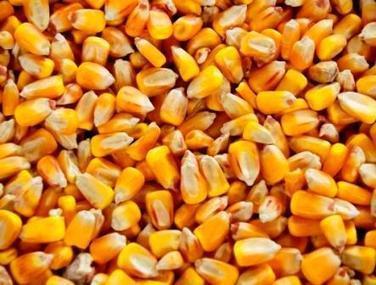 Les producteurs de maïs et les semenciers se rebiffent contre le moratoire anti-OGM du gouvernement. | Actualité de l'Industrie Agroalimentaire | agro-media.fr | Scoop.it