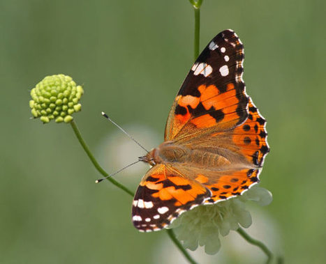 ScienceShot: Butterfly Migration Mystery Solved - ScienceNOW | Pollinators: a plant focus, for backyards | Scoop.it