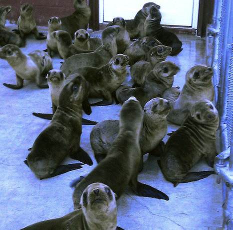 Why are sea lion pups are mysteriously washing ashore in California - Emaciated, Dehydrated | OUR OCEANS NEED US | Scoop.it