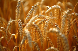 Existing cropland could feed four billion more by dropping biofuels and animal feed | Riffing on a Sustainable Society | Scoop.it
