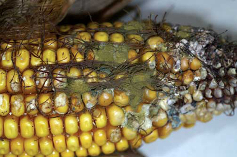 Aflatoxins: Poisoning health, trade in sub-Saharan Africa - NewsDay | Agricultural & Horticultural Industry News | Scoop.it