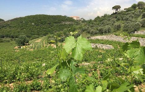 Vins du Liban: Cultivons la diversité des cépages - iloubnan.info | Charliban Lebnen | Scoop.it
