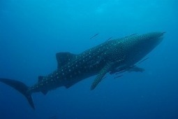 whale-shark-tagging-reveals-dive-patterns | News | Oceans and rivers | Indigo Scuba | Scoop.it