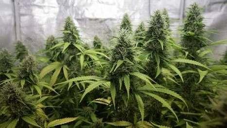 Massive marijuana report reveals drug's many health effects | medical toursim | Scoop.it