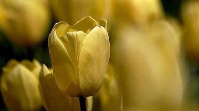 La «tulipomanía» holandesa, la primera burbuja especulativa de la Historia: Noticias en m.abc.es | ACANTO Green News | Scoop.it