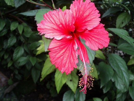 flor de jamaica para adelgazar efectos secundarios