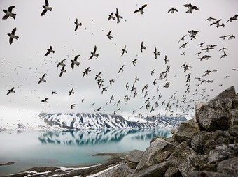 Birds Picture -- Dovekies Wallpaper -- National Geographic Photo of the Day | Travel With Your Camera | Scoop.it