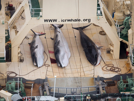 UN court set to rule on lawfulness of Japan's whale hunt - SBS | Marine Conservation | Scoop.it