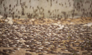 Locust plagues point to grim future of climate change | Messenger for mother Earth | Scoop.it