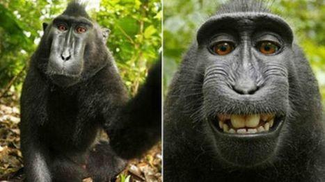 Niegan derechos de autor al mono que se hizo un selfie | E-Learning, M-Learning | Scoop.it
